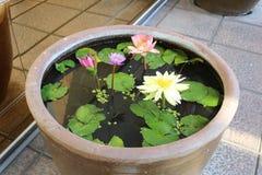 Lotus Flowers photographie stock libre de droits