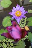 Lotus Flowers Royaltyfri Bild
