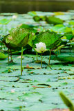 Lotus Flowers Photo libre de droits