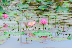 Lotus Flowers Stockbilder