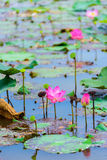Lotus Flowers Image stock