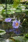 Lotus Flowers Imagen de archivo