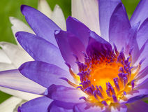 Lotus Flowers Imagem de Stock Royalty Free