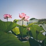 Lotus Flowers Fotografia Stock Libera da Diritti