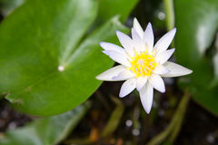 Lotus Flowers Arkivfoton