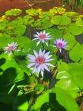 Lotus Flowers Immagine Stock