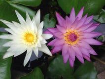 Lotus Flowers Fotografie Stock