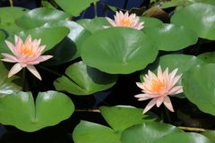 Lotus Flowers Fotos de archivo