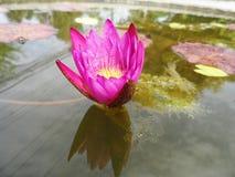 Lotus Flowers Royaltyfri Foto