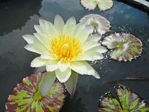 Lotus Flowers Royaltyfri Fotografi