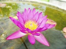 Lotus Flowers Royaltyfria Bilder