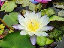 Lotus Flowers Royaltyfria Foton