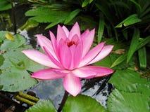 Lotus Flowers Arkivbilder