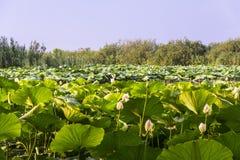 Lotus Flowers Foto de archivo