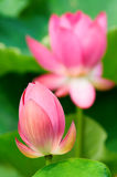 Lotus flowers. The view of two lotus flowers over green Royalty Free Stock Images