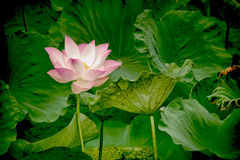 Lotus flowers. Abstract soft focus lotus flowers made effect HDR style Stock Image