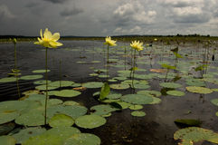 Lotus flowers with Approaching Storm Royalty Free Stock Photo