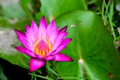 Lotus flowers. The lotus flowers is beautiful in garden stock photography