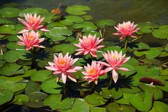 Lotus flowers Royalty Free Stock Images