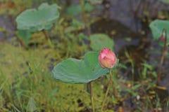 Lotus flowers,beautil aquatic plant Stock Photo