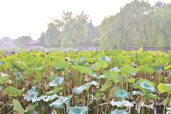 Lotus flowers in Beihai Park Royalty Free Stock Images