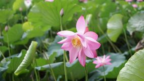 A lotus flowers are bended by raindrop in summer stock image