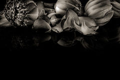 Lotus flowers in black and white on a black background Royalty Free Stock Photo