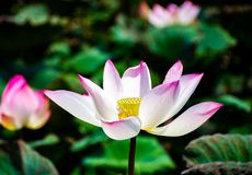 Lotus flowers bloom in the swamps royalty free stock photos