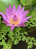 Lotus flowers bloom very beautiful (a close-up image or macro). Photos Folwers royalty free stock photography