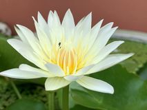 Lotus flowers bloom very beautiful (a close-up image or macro). Photos Folwers royalty free stock photos