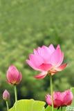 Lotus flowers Stock Photos