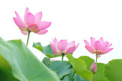 Lotus flowers. The lotus flowers are blooming royalty free stock photos