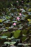 Lotus flowers, Ho Chi Minh City Stock Photo