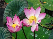Lotus flowers blooming on the pond. In spring time royalty free stock photography