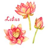 Lotus flowers and buds collection, isolated on white. Hand painted watercolor illustration with handwritten inscription Stock Images