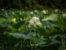Lotus flowers and buds in pond stock photos