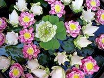 Organic texture . Lotus Flowers in Cambodia. Nature background. Pink and white Lotus Flowers in Cambodia, Asia stock photo