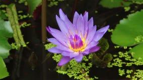Lotus Flowers, color violeta en una charca almacen de video