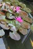 Lotus flowers with colorful fishes Royalty Free Stock Photos