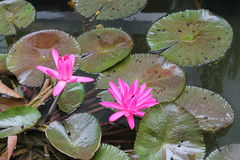 Lotus flowers with colorful fishes Royalty Free Stock Images