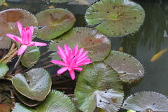 Lotus flowers with colorful fishes Royalty Free Stock Photography