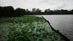 The beauty of the lotus pond after the storm stock video