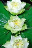 Lotus flowers floating in a pond Royalty Free Stock Photo