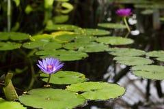 Lotus Flowers Floating roxa em uma lagoa Imagens de Stock