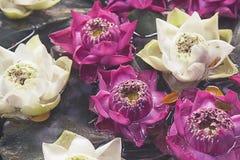 Lotus Flowers Floating On The-Vijver stock afbeelding