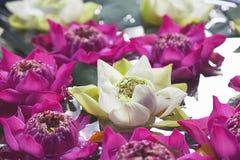 Lotus Flowers Floating On The-Vijver stock fotografie