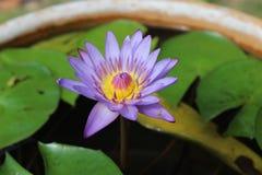 Lotus Flowers Flores de lótus bonitas Imagem de Stock Royalty Free