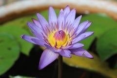 Lotus Flowers Flores de loto hermosas Foto de archivo