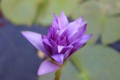 Lotus Flowers Flores de loto hermosas Fotos de archivo libres de regalías
