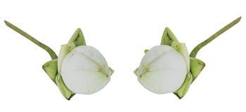 Lotus Flowers fresca para a adoração budista isolada no branco Imagens de Stock Royalty Free